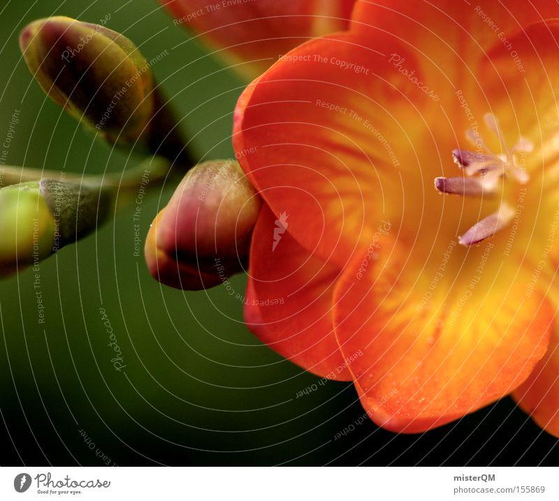 Frühlingsduft. Natur grün rot Pflanze Farbe Farbstoff Blüte orange Blühend Duft Blütenknospen Stempel Bildausschnitt Blütenblatt Blattknospe