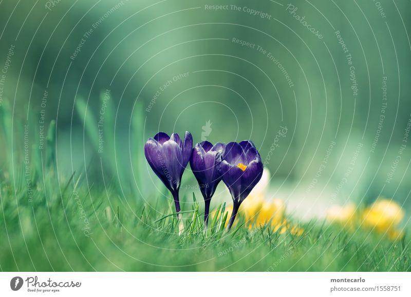 spring... Umwelt Natur Pflanze Luft Frühling Klima Schönes Wetter Gras Blatt Blüte Grünpflanze Wildpflanze Krokusse Wiese dünn authentisch Freundlichkeit frisch