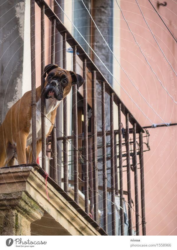 boxer auf balkonien III Hund Ferien & Urlaub & Reisen Stadt Haus Tier Wand natürlich Gebäude Mauer oben Fassade Tourismus stehen Perspektive beobachten