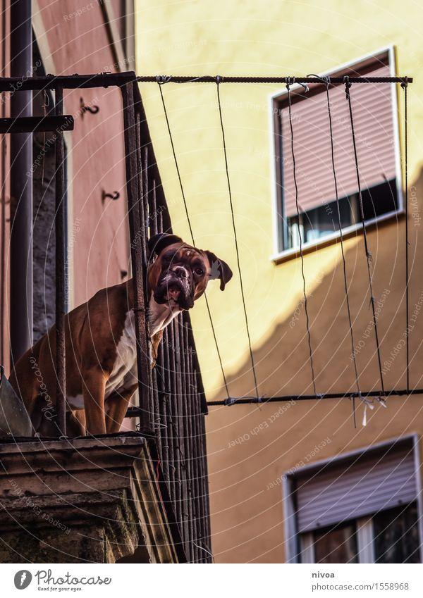 boxer auf balkonien I Hund Ferien & Urlaub & Reisen Haus Tier Fenster gelb Wand Architektur Gebäude Mauer braun Fassade Tourismus warten Ausflug beobachten
