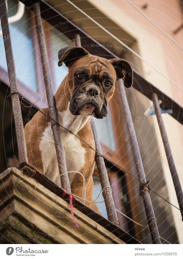 boxer auf balkonien II Hund Ferien & Urlaub & Reisen Haus Tier Wand Gebäude Mauer braun Fassade Tourismus Kraft sitzen warten beobachten Schönes Wetter Neugier