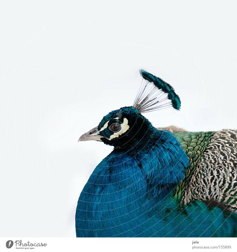 pavo cristatus III Pfau blau Vogel Feder Kopf Auge Tier schön ästhetisch Schnee Stolz Blick Schnabel Winter Geflieder