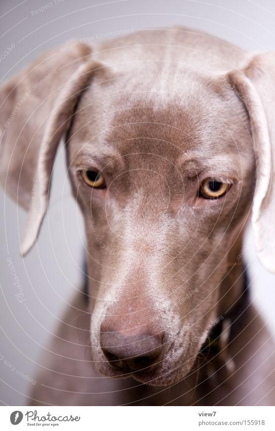 Knochenhypnose hypnotisch Tier Hund Blick Konzentration Weimaraner Auge Schnauze Appetit & Hunger Fressen Speichel Gesicht Gastronomie Säugetier