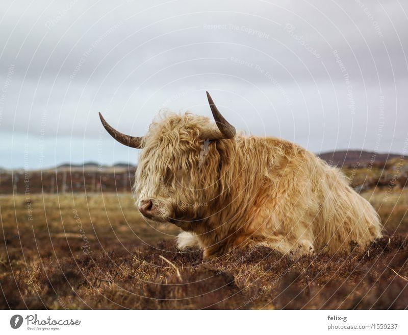 Dumpfes Schnaufen Landschaft Himmel Wolken Gras Tier Nutztier Kuh Fell Bulle Rind Horn 1 liegen bedrohlich stark trist wild Laster Einsamkeit Erschöpfung Idylle