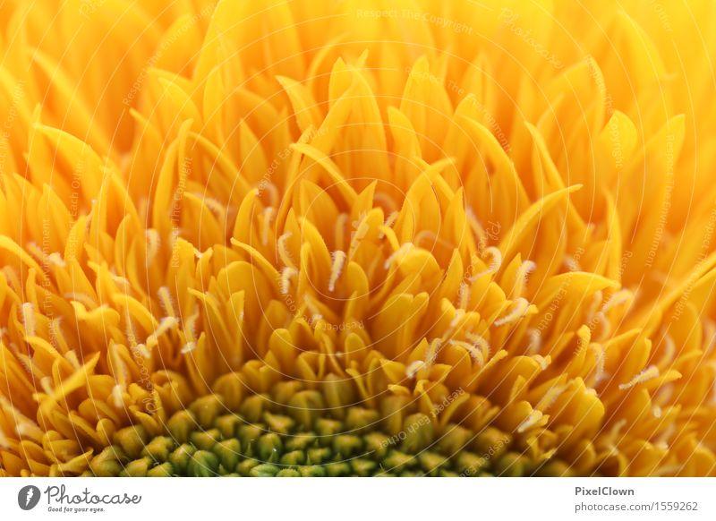 Sonnenblume Vegetarische Ernährung Lifestyle schön Körperpflege Wellness harmonisch Wohlgefühl Natur Pflanze Blume Blatt Blüte Nutzpflanze Garten Feld Blühend
