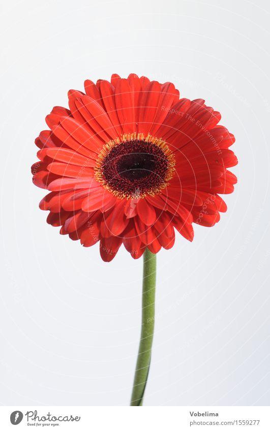 Gerbera Pflanze Blume Blüte Topfpflanze grün orange rot weiß Farbfoto Studioaufnahme Nahaufnahme Makroaufnahme Menschenleer Textfreiraum links