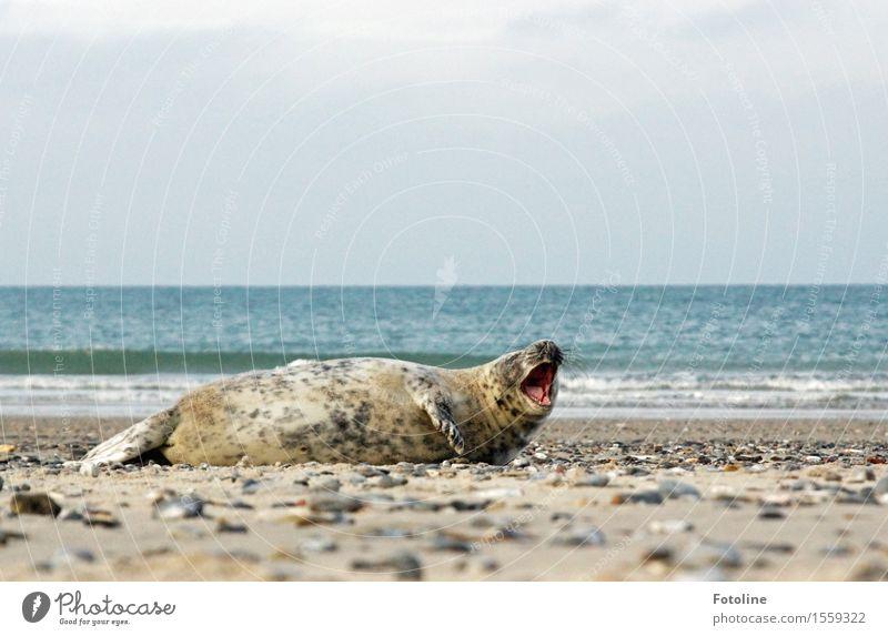 Opernsänger Umwelt Natur Landschaft Tier Urelemente Erde Sand Wasser Himmel Schönes Wetter Wellen Küste Strand Meer Insel Wildtier 1 frei nass natürlich Robben