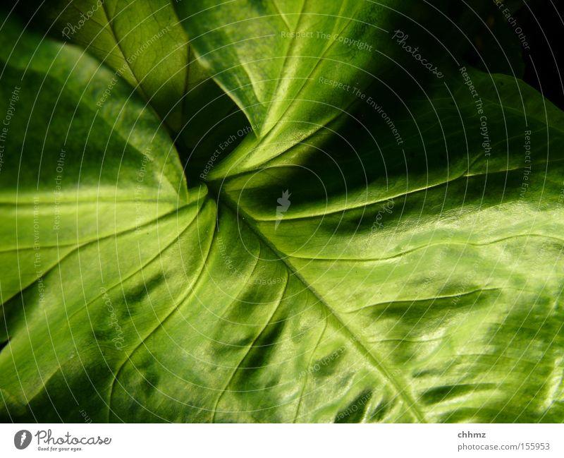 Blatt Natur grün Pflanze Blatt Park Botanik Gefäße Südamerika wellig