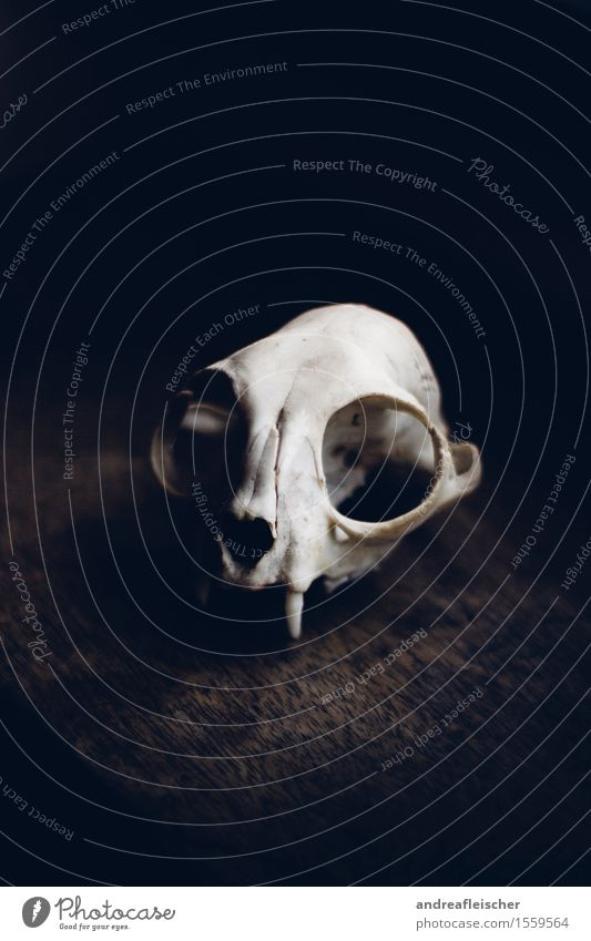 Der Tod als Ästhet Tier Traurigkeit Sorge Trauer Appetit & Hunger Schmerz Sehnsucht Einsamkeit Erschöpfung Angst Volksglaube Tierschädel ästhetisch Marder