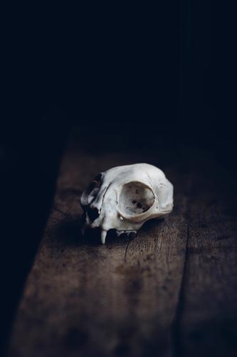 Der Tod als Ästhet Tier Wildtier authentisch gefährlich Trauer Stress gruselig mystisch Halloween Schädel demütig Skelett Fensterbrett Fuchs Totes Tier