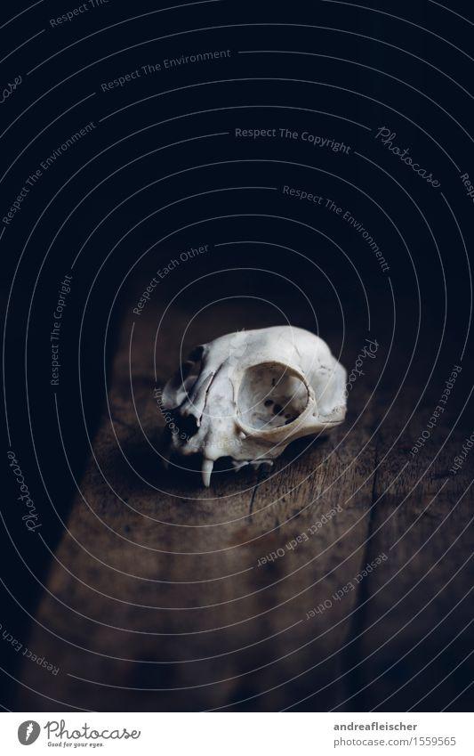 Der Tod als Ästhet Tier Wildtier Totes Tier 1 authentisch demütig Trauer gefährlich Stress Fuchs Schädel Skelett Fensterbrett mystisch Halloween gruselig
