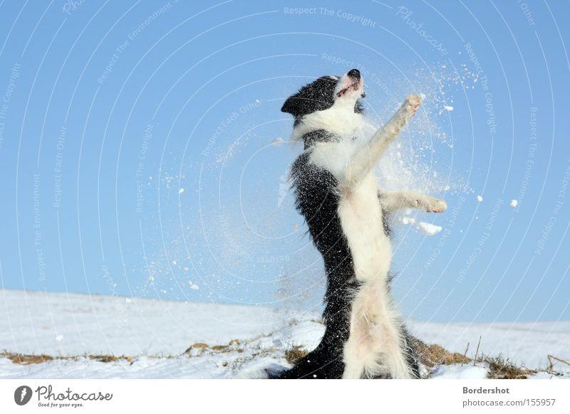 Erwischt weiß Freude Winter schwarz Schnee springen Hund Tanzen Aktion Hügel Säugetier Blauer Himmel