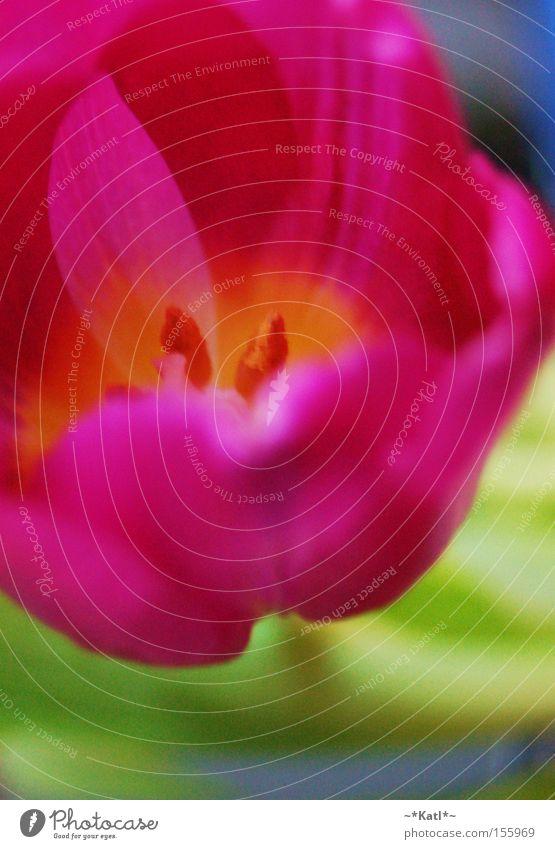 sei mein Frühlingsbote, kleine Tulpe.. schön Blume grün gelb Farbe rosa Blumenstrauß