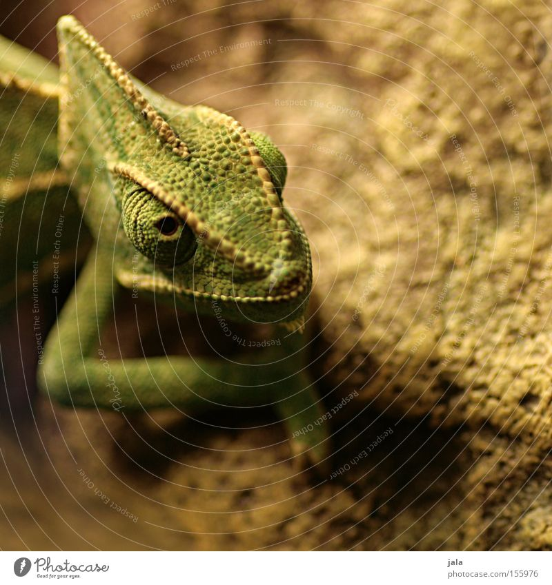 Erdlöwe Detailaufnahme Chamäleon grün Auge Kopf Tier Echsen Reptil Agamen Terraristik Schuppenkriechtier Schwache Tiefenschärfe