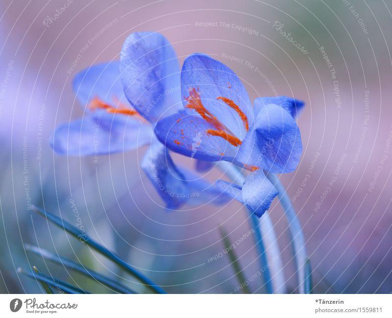 zu zweit Natur Frühling Schönes Wetter Pflanze Blume Krokusse Garten ästhetisch Freundlichkeit Fröhlichkeit frisch Zusammensein natürlich positiv schön blau