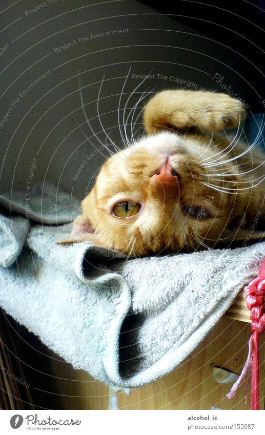 gelb Katze Bett Säugetier voll aufwachen aussruhen