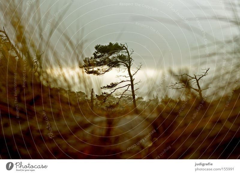Weststrand Baum Windflüchter Küste Darß Strand Ostsee Fischland Himmel grau trist Gras Stranddüne Winter Natur Umwelt Farbe