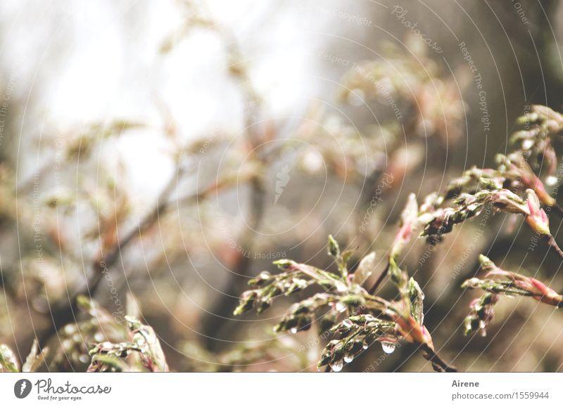 bedröppelt II Pflanze Urelemente Wasser Wassertropfen Frühling schlechtes Wetter Regen Sträucher Blatt Blütenknospen Garten nass braun rosa Farbfoto