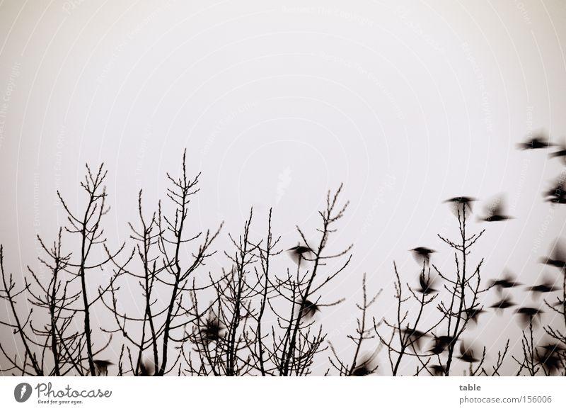 auf und davon... Vogelschwarm Baum Winter Amsel Himmel singen Krach Versammlung umgänglich Abheben Bewegungsunschärfe Angst Panik keine Ahnung :) fliegen Beginn