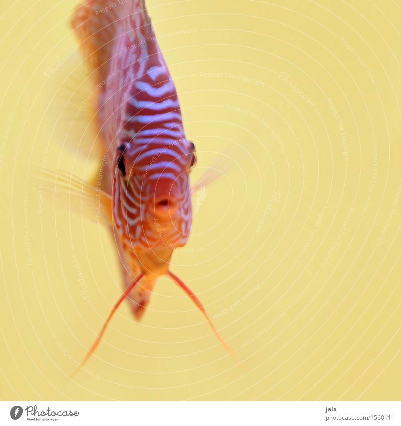 AQUARIUM EXPERIENCE #4 Barsch Buntbarsch Diskusfisch Fisch Meer Aquarium Makroaufnahme Nahaufnahme Meerwasser Unterwasseraufnahme gelb mehrfarbig Wasser