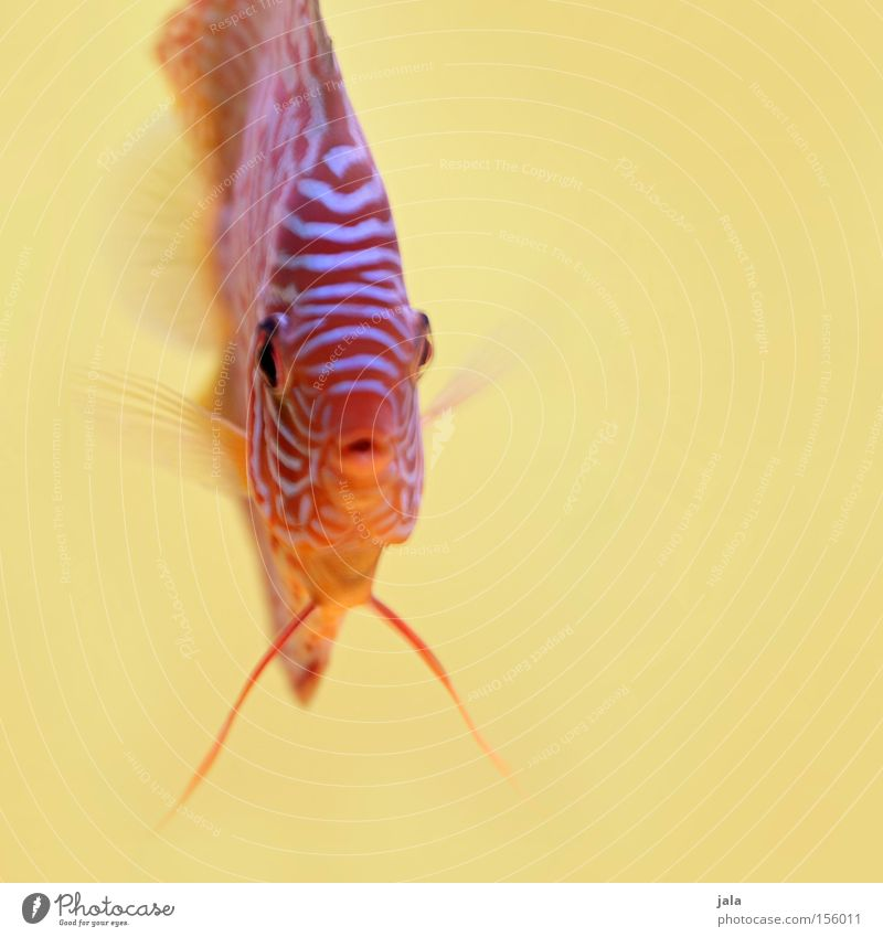AQUARIUM EXPERIENCE #4 Wasser Meer gelb Fisch Aquarium Meerwasser Barsch Diskusfisch Buntbarsch