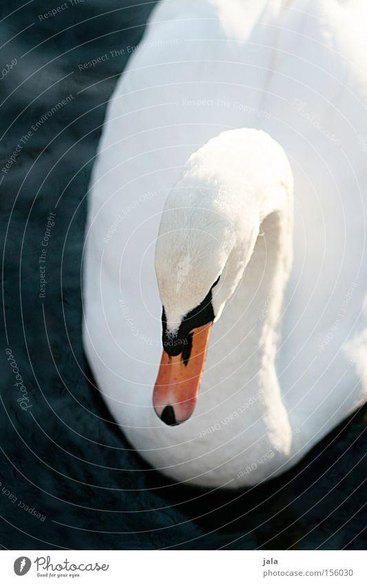 liebesvogel #5 Wasser schön weiß Tier Kopf Vogel elegant ästhetisch Feder Hals Schnabel Stolz Schwan