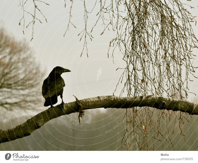 Edgar Natur Baum Pflanze Tier grau Vogel Umwelt sitzen Ast natürlich Zweig Geäst hocken Rabenvögel Krähe