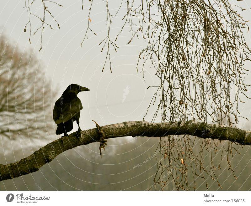 Edgar Umwelt Natur Pflanze Baum Tier Vogel Krähe 1 hocken sitzen natürlich grau Rabenvögel Ast Zweig Geäst Farbfoto Gedeckte Farben Außenaufnahme Tag