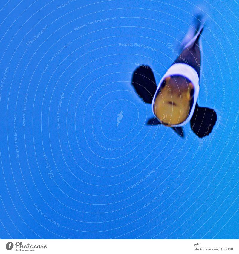 AQUARIUM EXPERIENCE #5 Clownfisch schwarz Anemonenfische Fisch Meer Aquarium blau Nahaufnahme Meerwasser Unterwasseraufnahme Wasser Amphiprion ocellaris