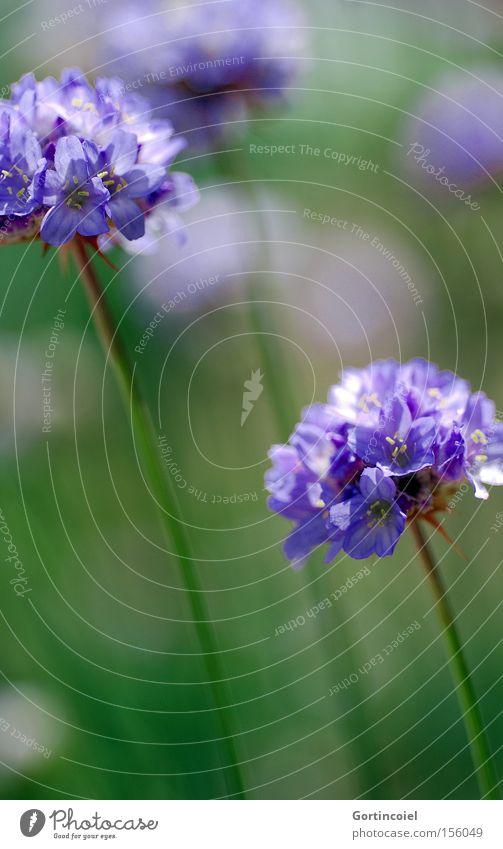 Meadow harmonisch Umwelt Natur Pflanze Frühling Sommer Blume Blüte Park Wiese Duft schön weich grün violett weiß Lebensfreude Frühlingsgefühle Farbe sanft zart