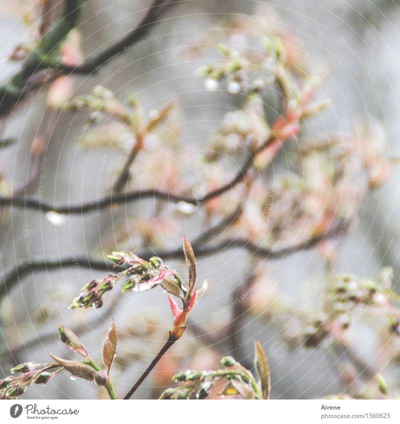 bedröppelt V Pflanze Urelemente Wasser Wassertropfen schlechtes Wetter Regen Sträucher Zweige u. Äste Felsenbirne Blütenknospen Garten hell nass grau rosa