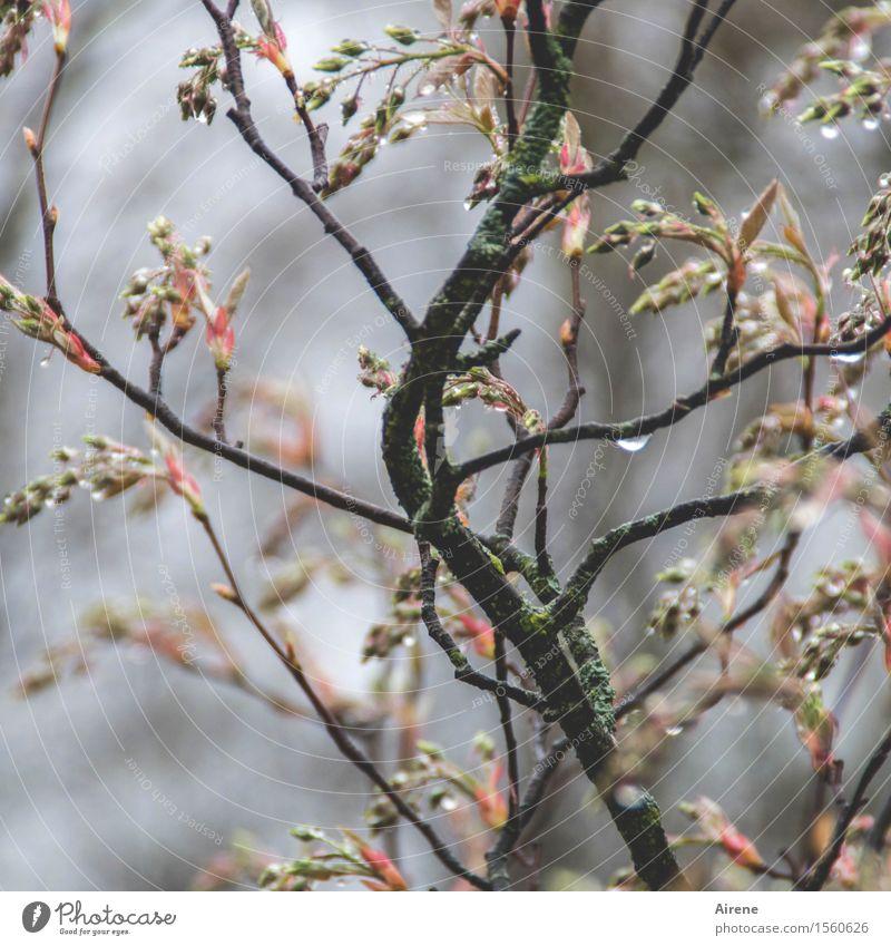 bedröppelt IV Pflanze Urelemente Wasser Wassertropfen Frühling schlechtes Wetter Regen Sträucher Blütenknospen Zweige u. Äste Felsenbirne Garten nass braun grau