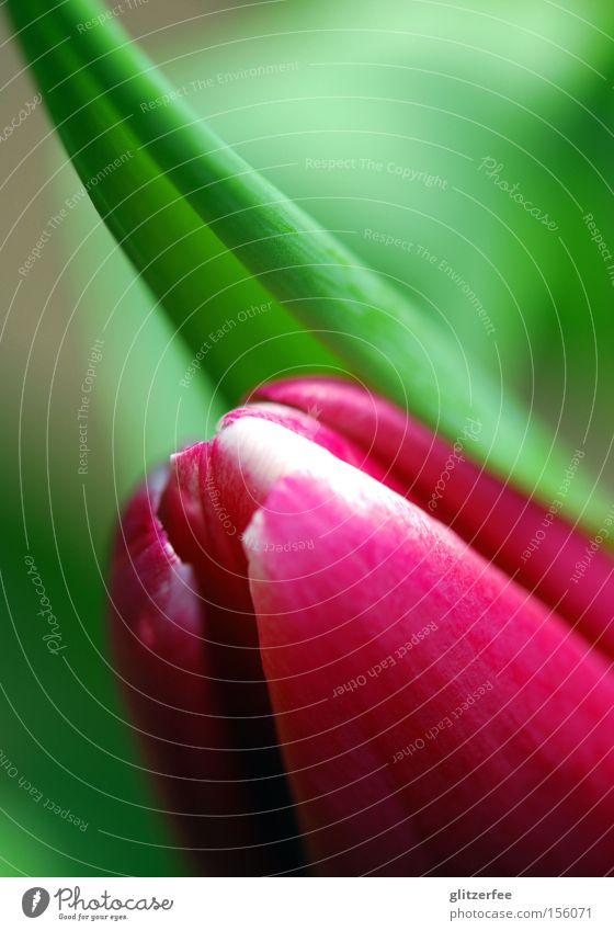 frühlingserwachen grün Blume Freude Frühling Blüte rosa Wachstum Blütenknospen Tulpe Zwitter Frühblüher Liliengewächse Knollengewächse