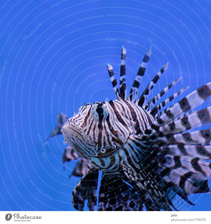 AQUARIUM EXPERIENCE #6 Rotfeuerfisch Fisch Meer Strahlenfeuerfisch Aquarium blau Nahaufnahme Gift Meerwasser Unterwasseraufnahme Wasser