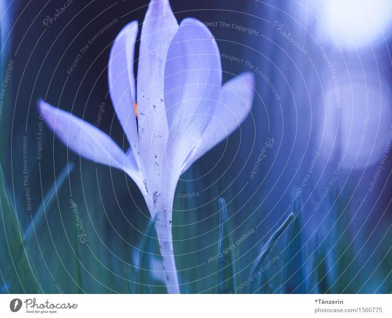 Frühlingserwachen Natur Schönes Wetter Pflanze Blume Blüte Krokusse Garten ästhetisch frisch natürlich schön blau weiß Unschärfe Farbfoto mehrfarbig