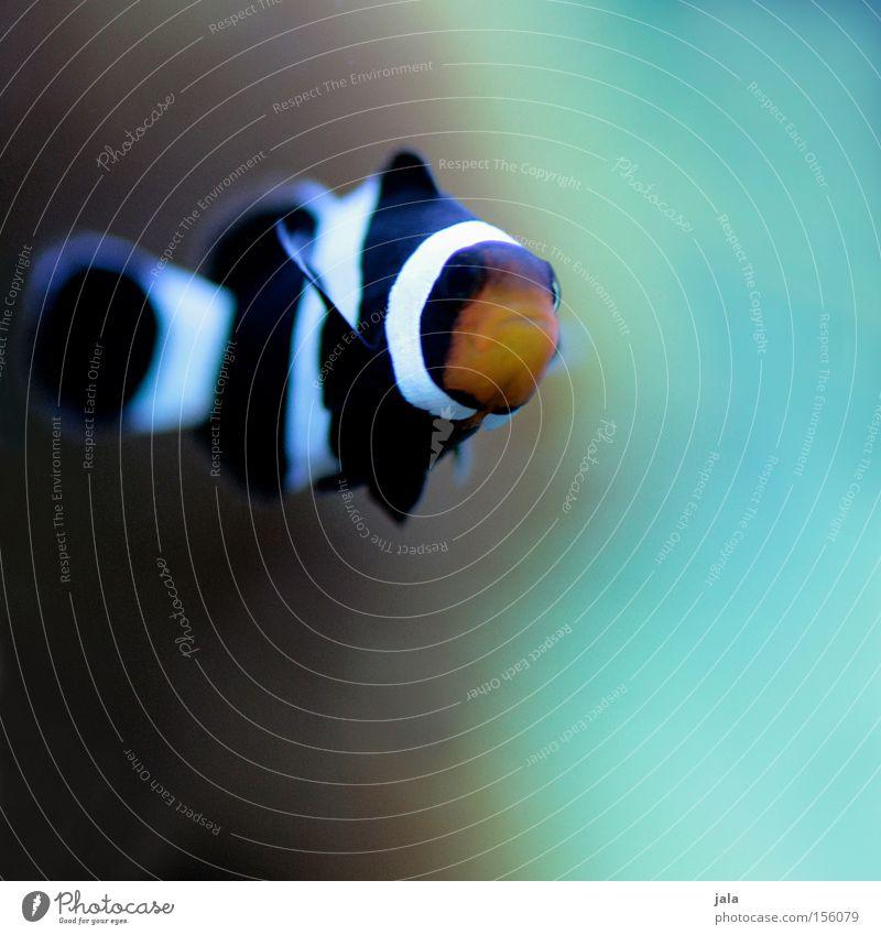 AQUARIUM EXPERIENCE #7 Wasser Meer schwarz orange Fisch türkis Aquarium Meerwasser Clownfisch Anemonenfische