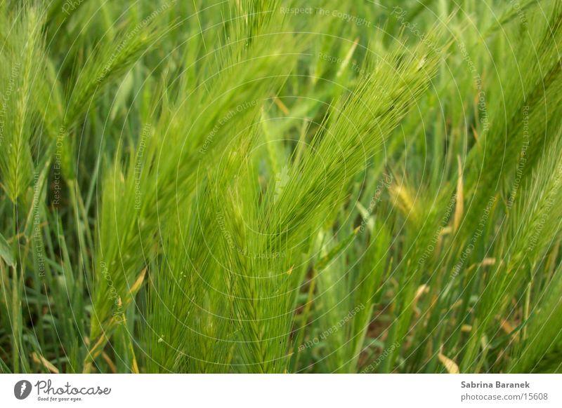 weizen grün Feld Getreide Korn