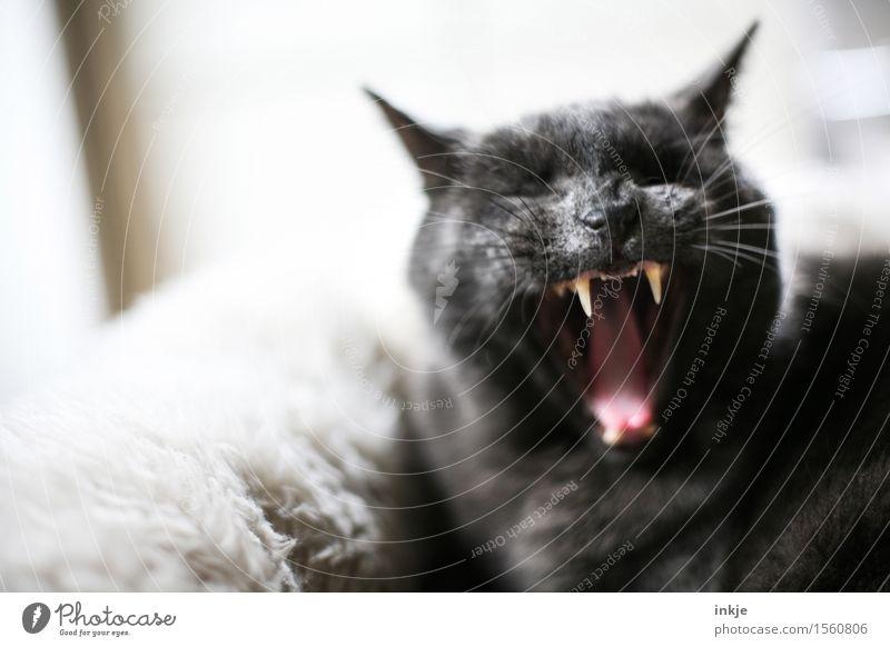 Morgääääähn... Haustier Katze Tiergesicht Hauskatze Reißzahn Maul 1 kuschlig Gefühle Müdigkeit bequem gereizt Feindseligkeit Aggression drohend gestikulieren