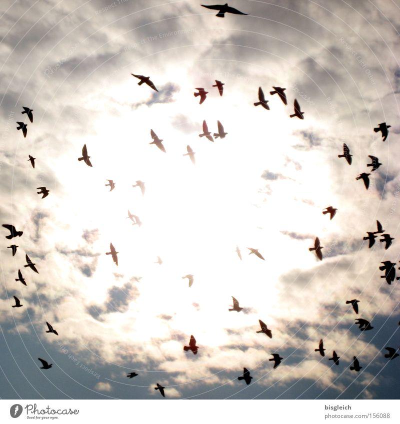 Der Schwarm Himmel Wolken Tod Vogel Vergänglichkeit Taube Vogelschwarm