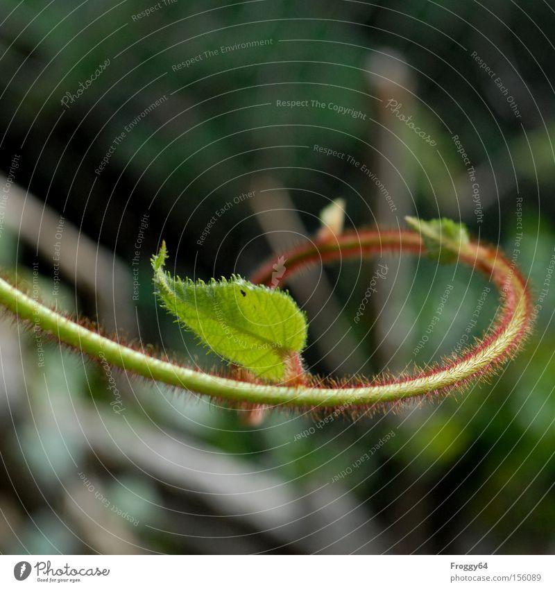 Kiwi Pflanze Ranke essbar grün rot Sommer Blatt