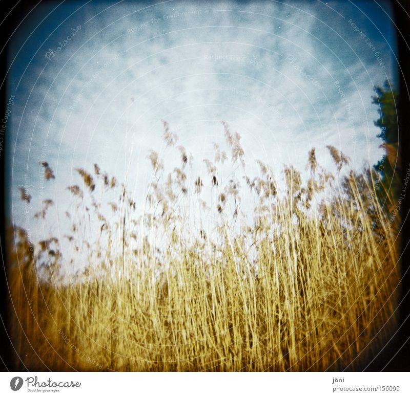 Schilfwald Schilfrohr Baum Wald See Teich Himmel Wolken Holga Lomografie Stroh Natur wandern Wind ruhig Luft Jahreszeiten
