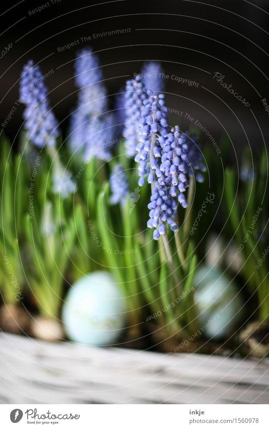 Hyazinthen Lifestyle Dekoration & Verzierung Ostern Frühling Blume Blüte Traubenhyazinthe Frühlingsblume Gesteck Blumenstrauß Osterei Osterdekoration Blühend