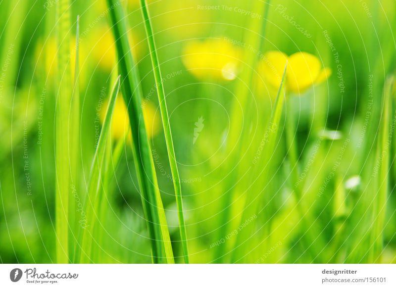Vorfreude Blume grün gelb Leben Wiese Gras Frühling Wärme Beginn Wachstum Neuanfang Hahnenfuß Sumpf-Dotterblumen