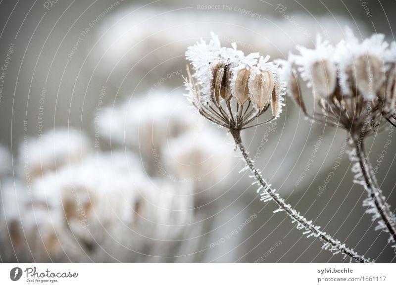Eiszeit Umwelt Natur Pflanze Urelemente Wasser Winter Klima schlechtes Wetter Frost Gras Wildpflanze Feld kalt braun grau weiß geheimnisvoll Idylle stagnierend