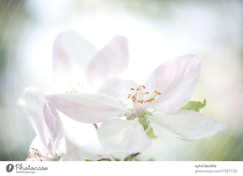leis und sacht Umwelt Natur Pflanze Frühling Klima Klimawandel Schönes Wetter Baum Blüte Nutzpflanze Garten Blühend Duft natürlich rosa weiß Gesundheit Hoffnung