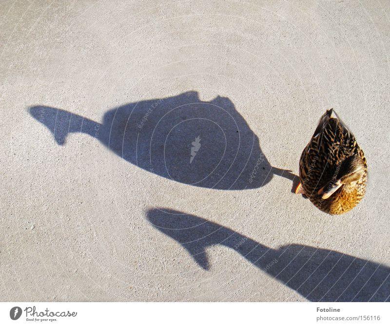 2 1/2 Enten Wasser schwarz grau Wärme Erde hell braun Vogel natürlich Tierfuß Flügel Feder Bar trocken Restaurant