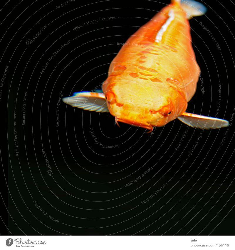 straight from japan Koi Fisch Tier Japan Karpfen Teich Wasser gelb orange See Brokatkarpfen Barteln