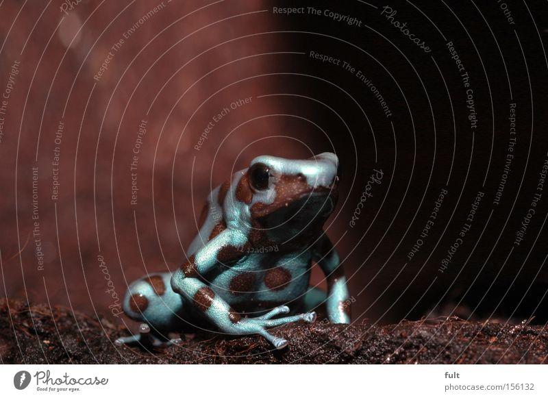 Dendrobates Auratus Frosch Dendera Nahaufnahme sitzen Tier Baumsteiger Frosch Urwald schön ästhetisch Makroaufnahme