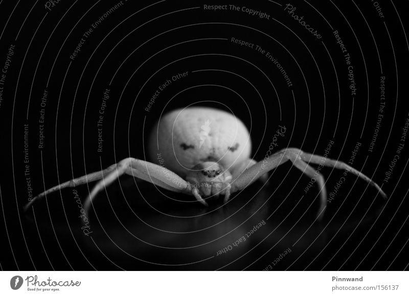 Mrs. Vidua Beine Makroaufnahme Angst Netz Insekt beobachten Ereignisse verstecken Panik Spinne Gift Schrecken Schock Monster Alptraum Spinnennetz