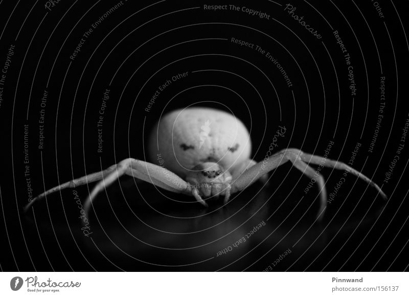 Mrs. Vidua Spinne Angst Panik Makroaufnahme Nahaufnahme Beine Gift Monster Schrecken Alptraum Schock verstecken giftzangen Netz Spinnennetz beobachten Insekt